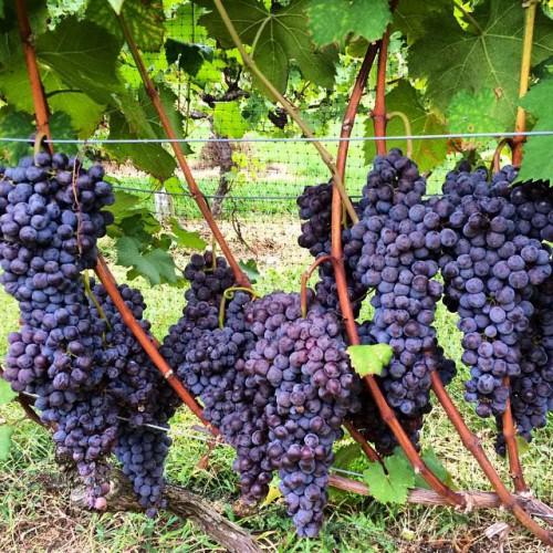 Turdo vineyards in cape may nj 3911 bayshore rd for Asian cuisine ocean view nj
